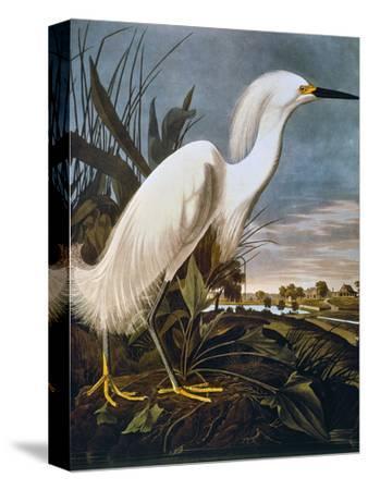 Audubon: Egret