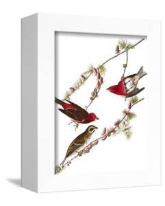 Audubon: Finch, 1827-38 by John James Audubon