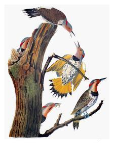 Audubon: Flicker by John James Audubon