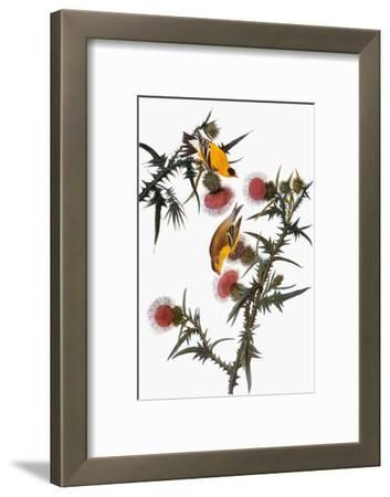 Audubon: Goldfinch