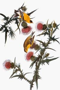 Audubon: Goldfinch by John James Audubon