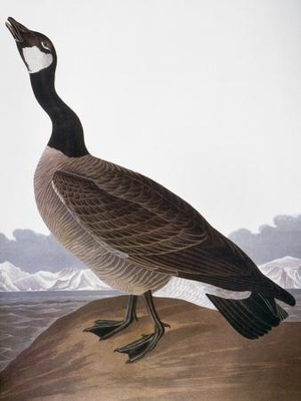 Audubon: Goose, 1827 by John James Audubon