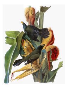 Audubon: Grackle by John James Audubon