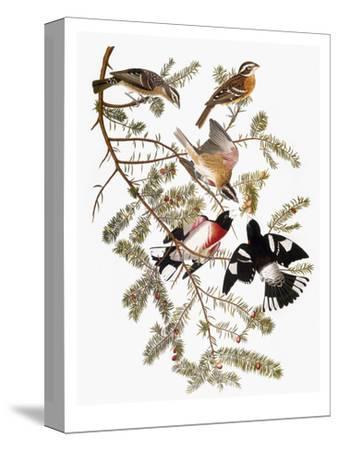 Audubon: Grosbeak