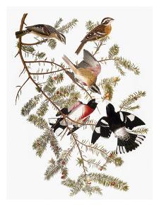 Audubon: Grosbeak by John James Audubon