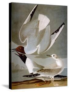 Audubon: Gull by John James Audubon