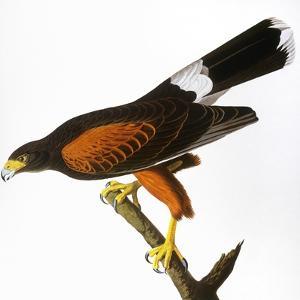Audubon: Hawk, 1827 by John James Audubon