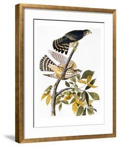 Audubon: Hawk by John James Audubon