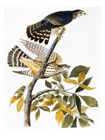 Audubon: Hawk by John James Audubon