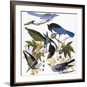 Audubon: Jay And Magpie by John James Audubon