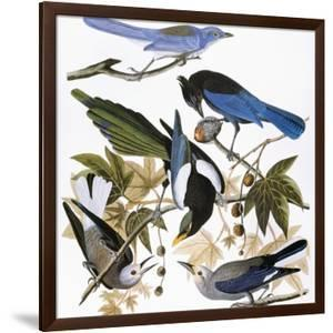 Audubon: Jay And Magpie by John James Audubon