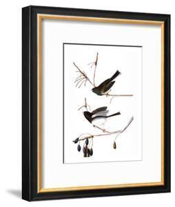 Audubon: Junco, 1827 by John James Audubon