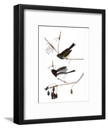 Audubon: Junco, 1827