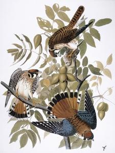 Audubon: Kestrel, 1827 by John James Audubon