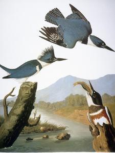 Audubon: Kingfisher, 1827 by John James Audubon