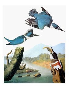Audubon: Kingfisher by John James Audubon