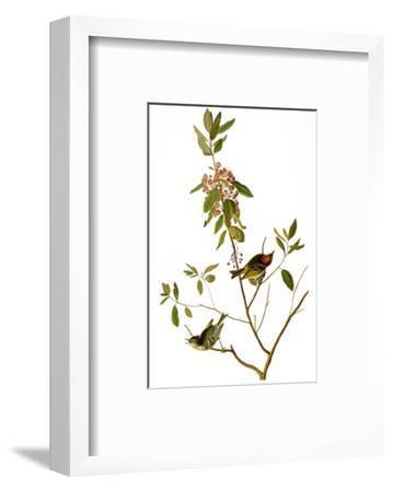 Audubon: Kinglet, 1827