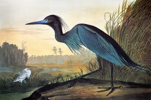 Audubon Little Blue Heron