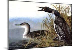 Audubon: Loon, 1827 by John James Audubon