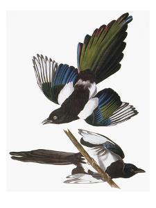 Audubon: Magpie by John James Audubon