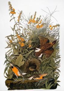 Audubon: Meadowlark by John James Audubon