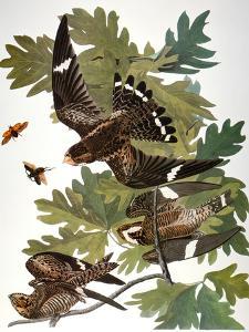 Audubon: Nighthawk by John James Audubon