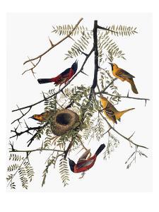 Audubon: Oriole by John James Audubon