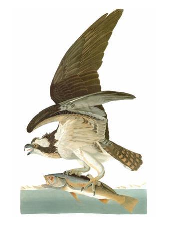 Audubon: Osprey by John James Audubon