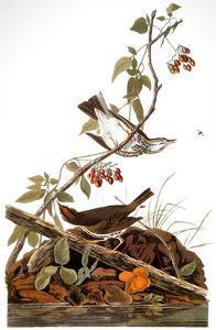 Audubon: Ovenbird by John James Audubon