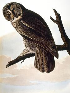 Audubon: Owl by John James Audubon
