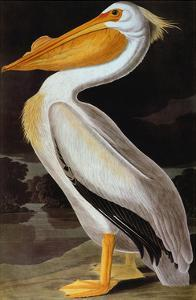 Audubon: Pelican by John James Audubon