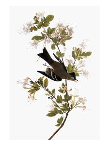 Audubon: Pewee, 1827-38 by John James Audubon