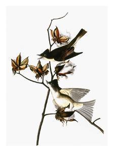 Audubon: Phoebe by John James Audubon