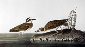 Audubon: Plover, 1827-38 by John James Audubon