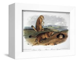 Audubon: Prairie Dog, 1844 by John James Audubon