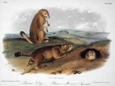 Audubon: Prairie Dog, 1844