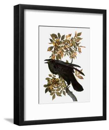 Audubon: Raven