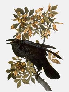 Audubon: Raven by John James Audubon
