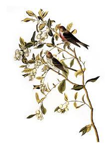 Audubon: Redpoll, 1827 by John James Audubon