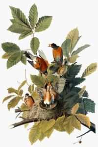 Audubon: Robin by John James Audubon