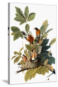 Audubon: Robin by John James Audubon