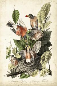 Audubon's American Robin by John James Audubon