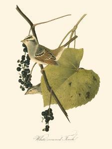 Audubon's Finch by John James Audubon
