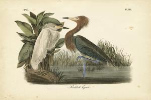 Audubon's Reddish Egret by John James Audubon
