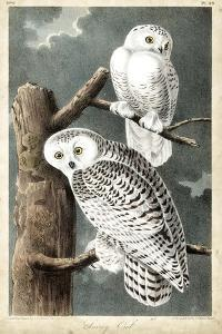 Audubon's Snowy Owl by John James Audubon