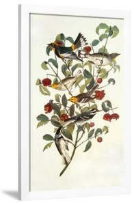 Audubon's Warbler by John James Audubon
