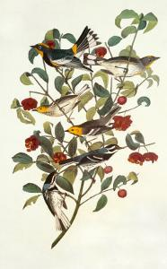 Audubon's Warbler by John James Audubon