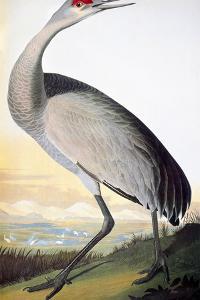 Audubon: Sandhill Crane by John James Audubon