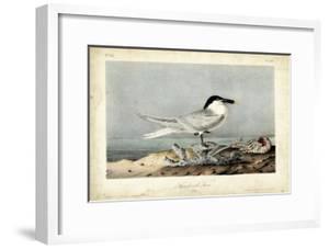Audubon Sandwich Tern by John James Audubon