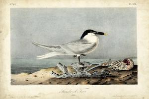 Audubon Sandwich Tern by John James Audubon